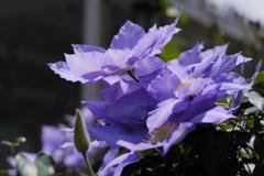大輪で咲くクレマチス