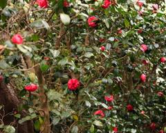 くりはま花の国 ぼたん−1