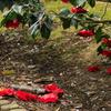 くりはま花の国 ぼたん−2
