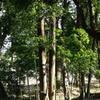 玄海田公園 双子の木