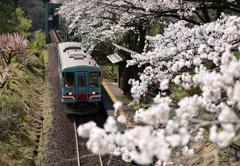 桜 樽見鉄道 「日当駅」