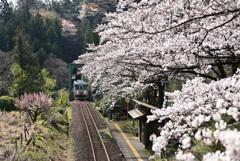 桜 樽見鉄道 日当駅