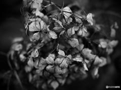 寒枯紫陽花