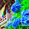 古都京都に咲く紫陽花
