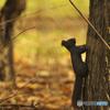 落ち葉の森で(エゾリス3)