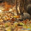 落ち葉の森で(エゾリス2)