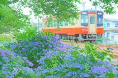 アジサイと天浜線(キハ20)