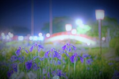 夜の菖蒲園2