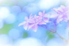 紫陽花ボケフォト2
