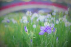 朝の菖蒲園