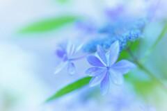 紫陽花ボケフォト1