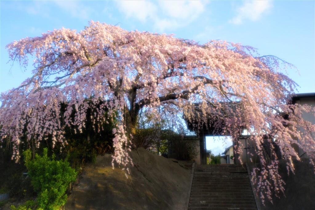 花川の一本桜