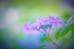 紫陽花ボケフォト3