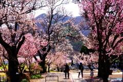 杏子の老木