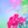 梅雨入りの薔薇(パステルカラー)