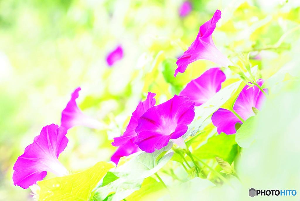 野に咲く朝顔