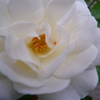 実家のバラ