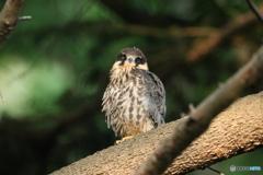 チゴハヤブサ幼鳥