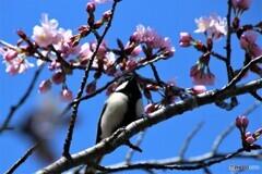 シジュウカラと桜