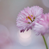 雛菊という花