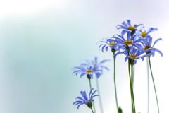 空色した花