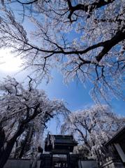 空に描いた徒桜