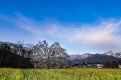 北アルプスとコブシ咲く春