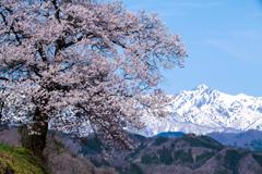 山桜と五竜岳