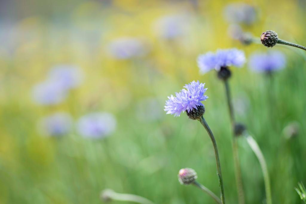 透明な青柴が咲く