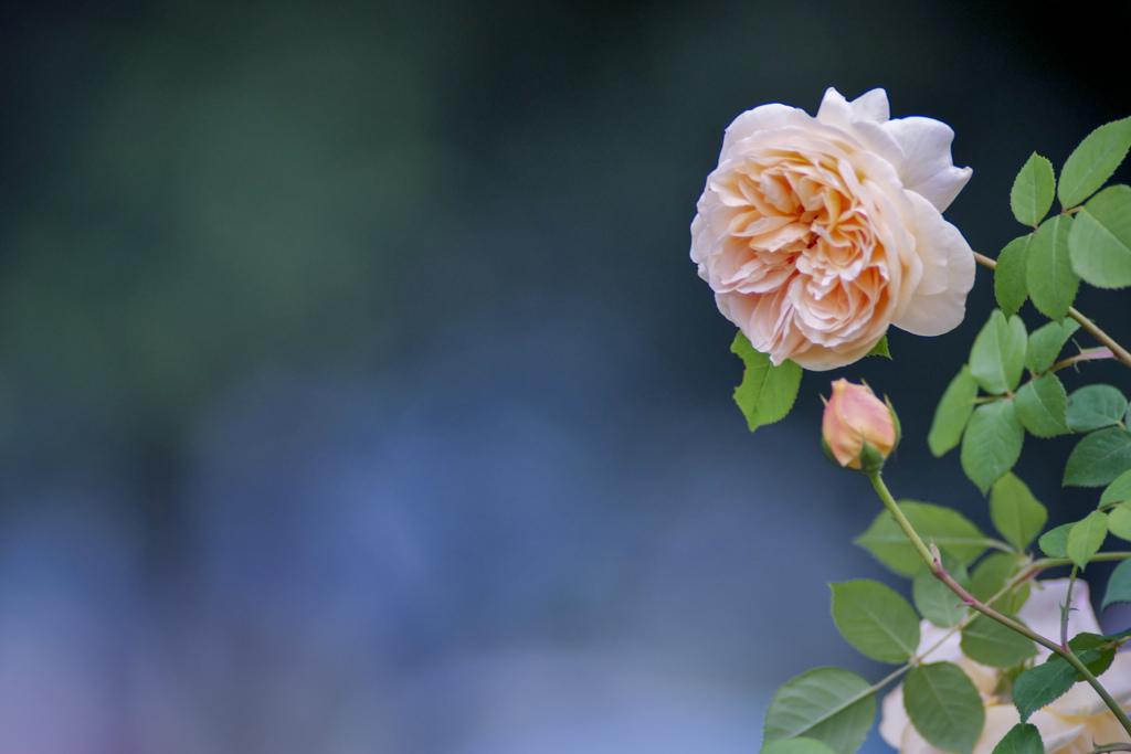 空間とバラ