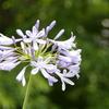 アガパンサス  (紫君子蘭 ムラサキクンシラン)