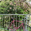 八重桜の下で一服