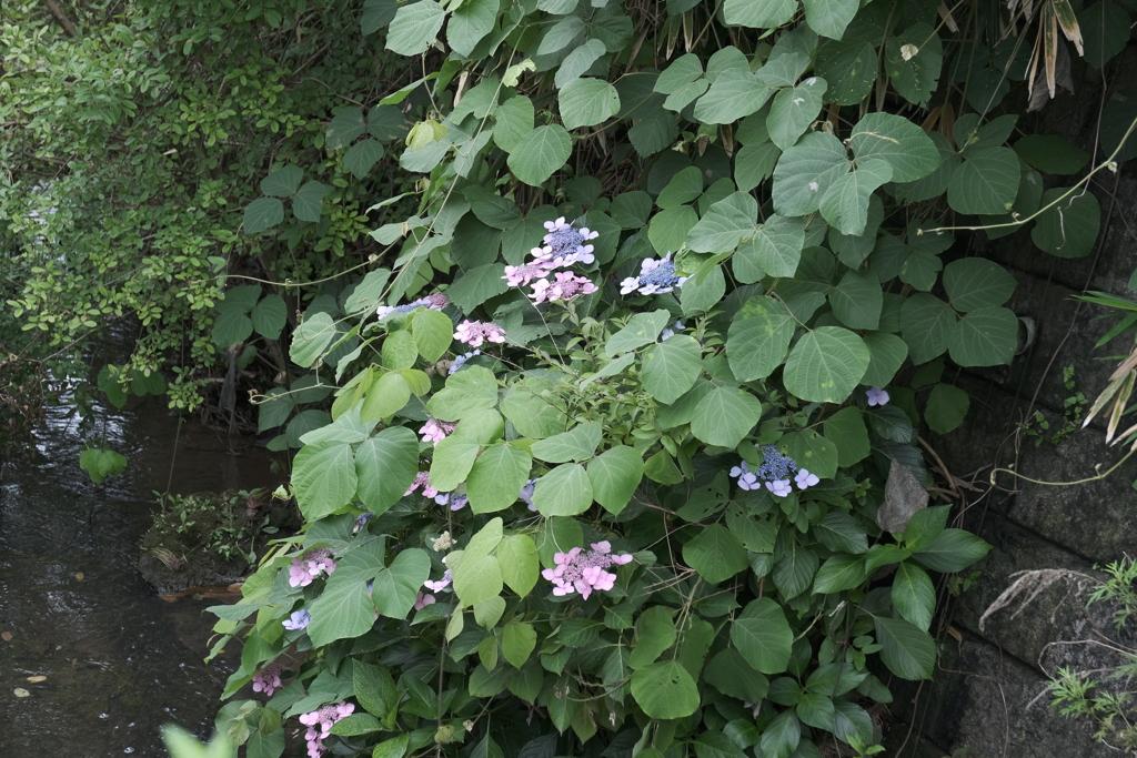 水路に咲く紫陽花