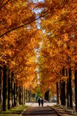 メタセコイヤ並木を散歩