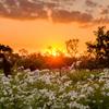 黄昏のコスモス畑