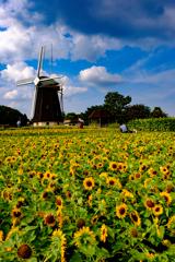 風車の丘のヒマワリ畑
