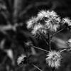 枯れ花の白い綿毛