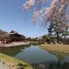 桜と平等院