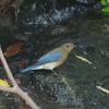 オオルリの若鳥
