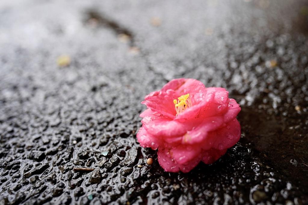 路面に咲く椿