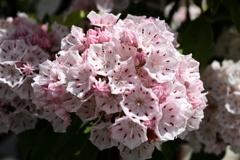亜米利加石楠花