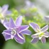 紫陽花八重咲