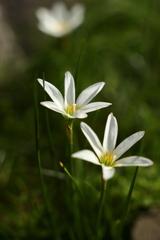 白い花、三輪
