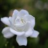 まるで白バラのような