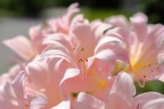 密になって楽しむ夏水仙