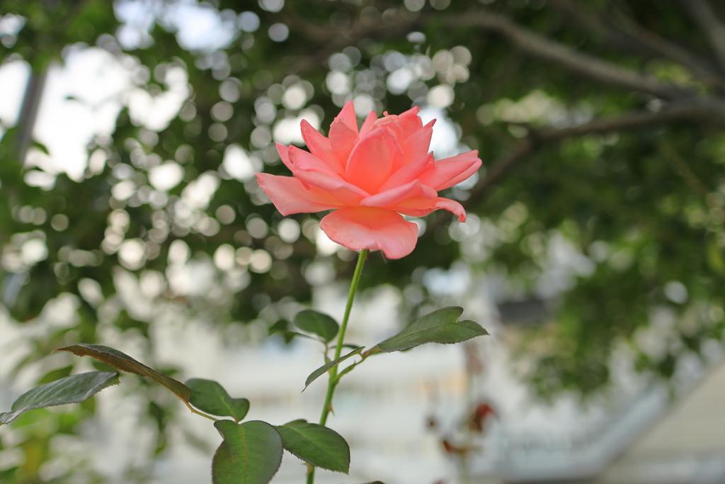 見上げたところに薔薇が