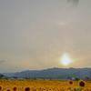 曇り空と夕日とひまわり畑