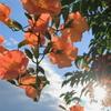 橙色の花びらが透ける