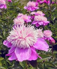ハニカミながら立っているピンクの芍薬の話