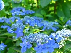 青色が鮮やかな三光寺の紫陽花